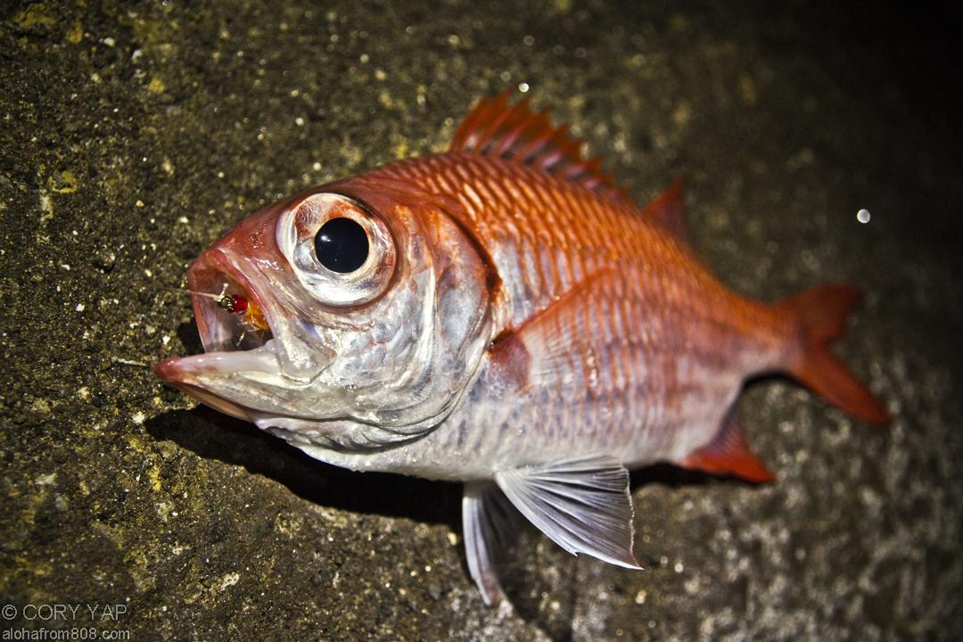 Hawaiian Reef Cave Fish